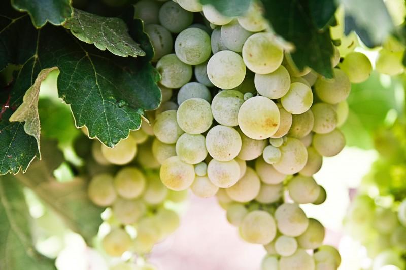 Bom de copo: Os vinhos orgânicos chilenos