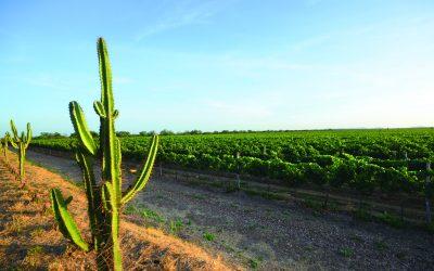 Petrolina produz vinhos nacionais reconhecidos e oferece passeios no rio que é a cara do Nordeste