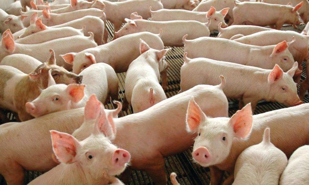 Criação de suínos - Foto: Divulgação | Agência Brasil