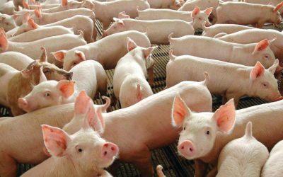 Peste suína africana pode ameaçar a suinocultura brasileira